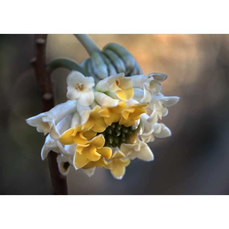 Edgeworthia Snow Globe