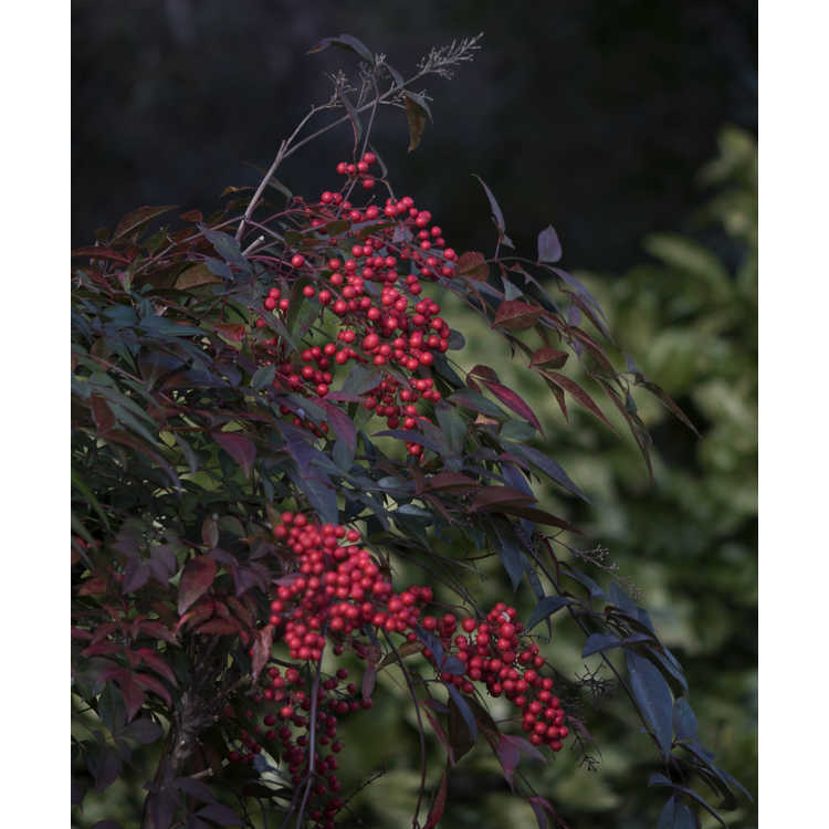 Nandina domestica 'Towne and Country'