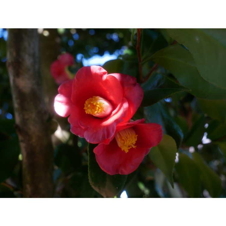 Camellia japonica Korean germplasm