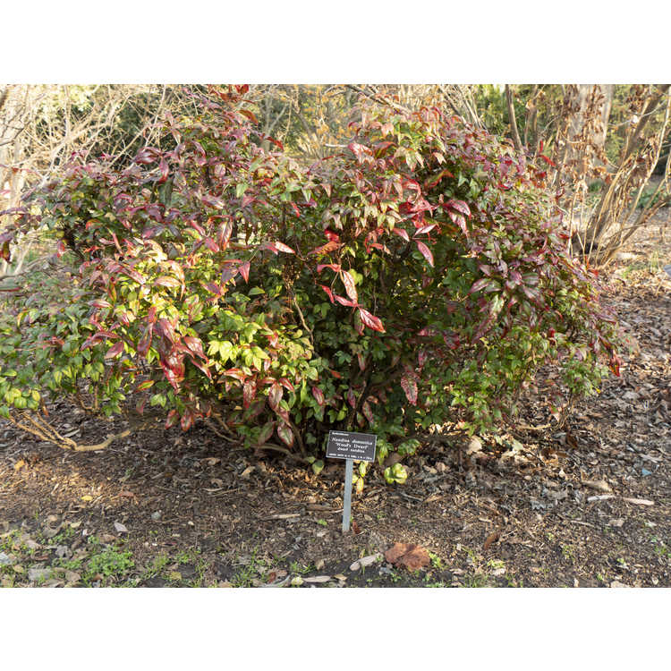 Nandina domestica 'Wood's Dwarf' - dwarf heavenly bamboo