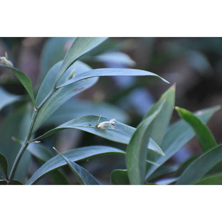 Ruscus ×microglossum
