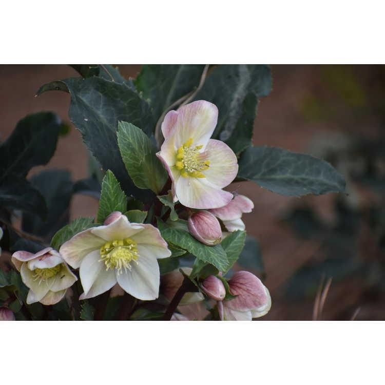 Helleborus ballardiae Coseh 720 Spring Party