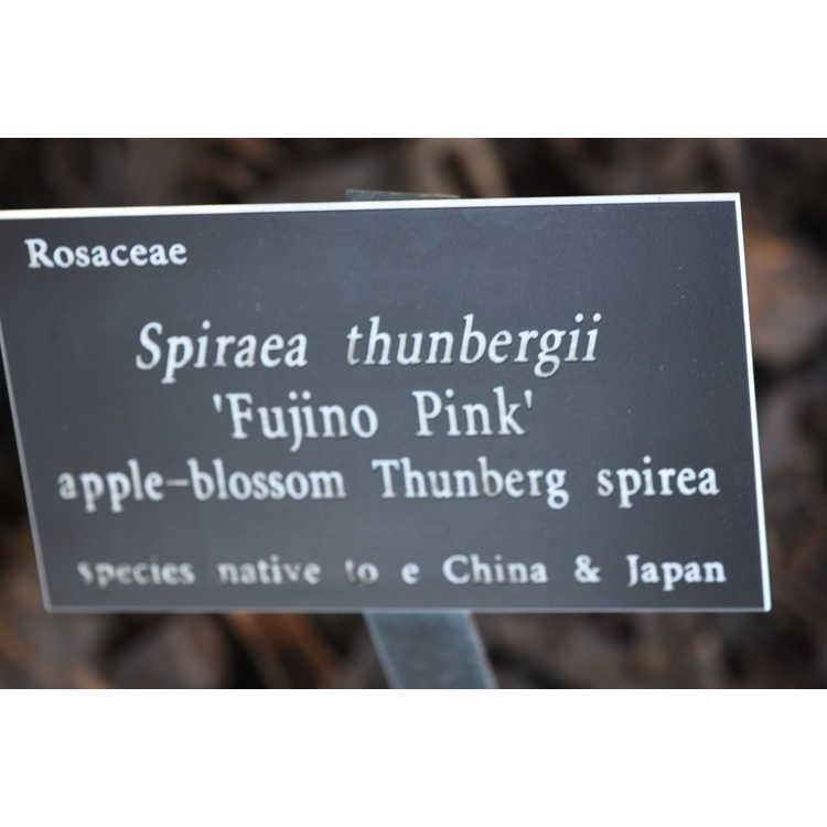 Spiraea thunbergii Fujino Pink