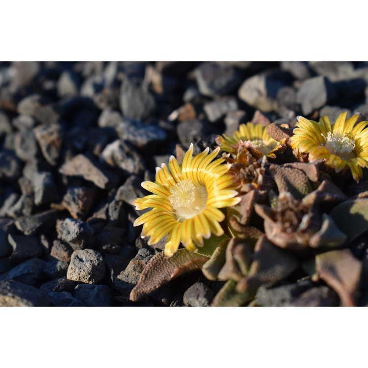 Nananthus margaritiferus
