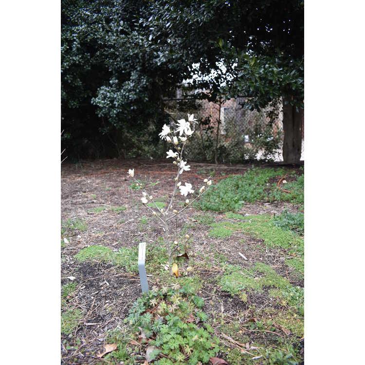Magnolia stellata Star Dust