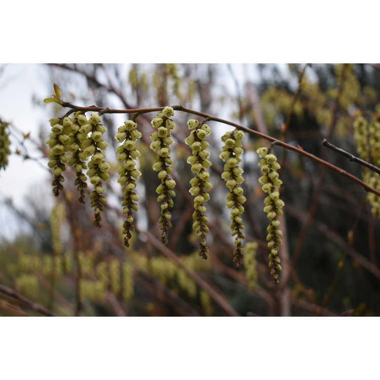 Stachyurus praecox 'Variegata' - variegated golden spike-tail