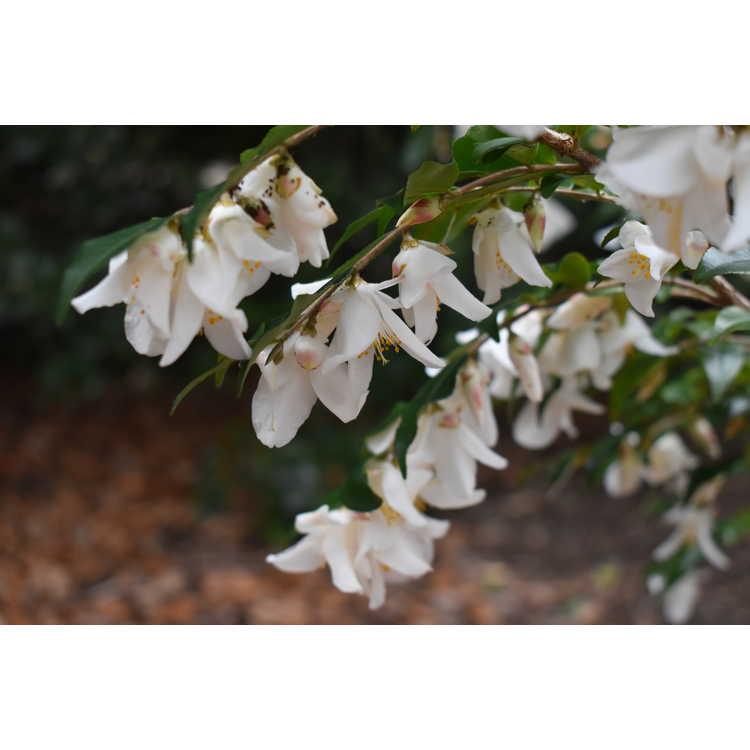 Camellia 'Wirlinga Bride' - hybrid camellia
