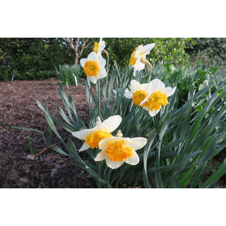 Narcissus 'Virginia Sunrise' - large-cupped daffodil