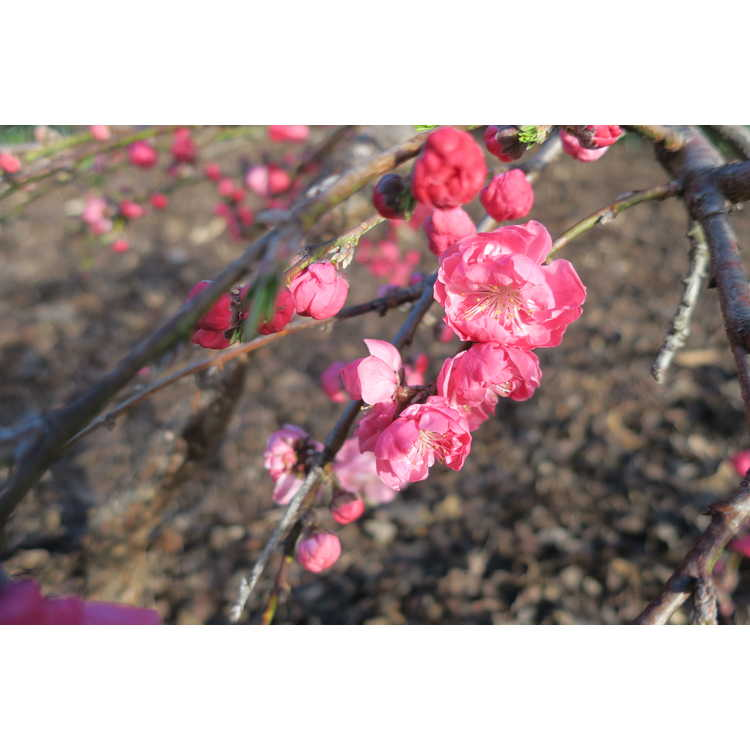 Prunus persica 'Genpei Shidare' - bicolor weeping peach
