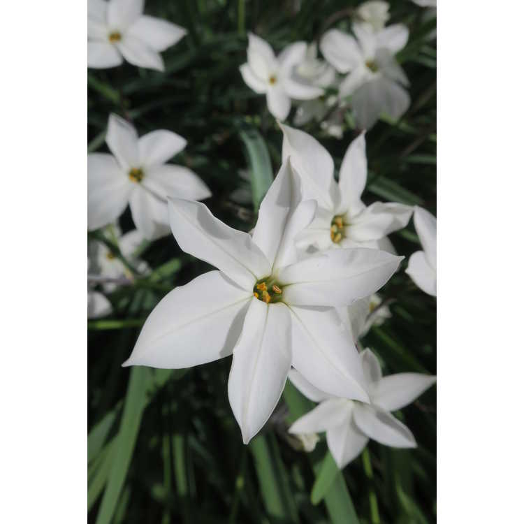 Ipheion 'Alberto Castillo' - star flower