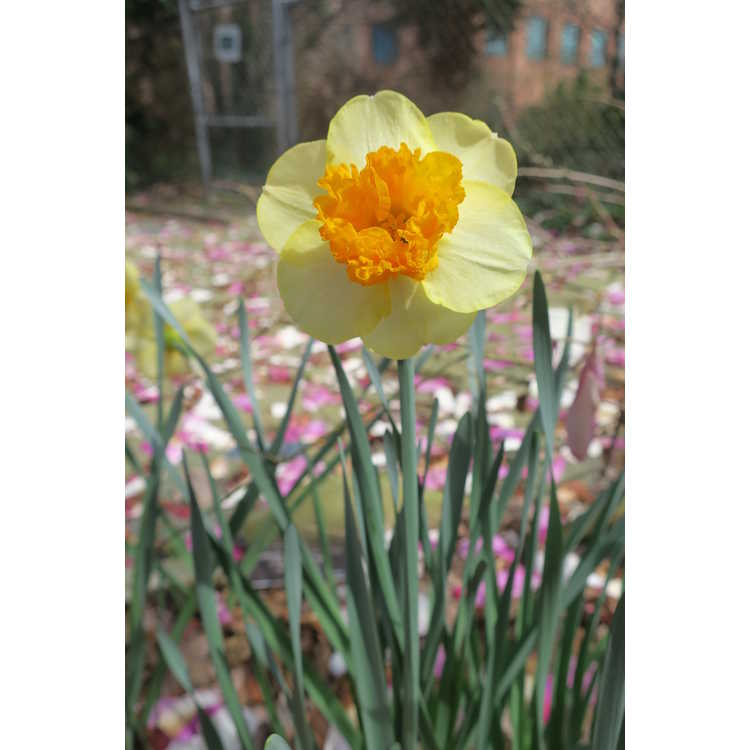 Narcissus 'Modern Art' - large-cupped daffodil