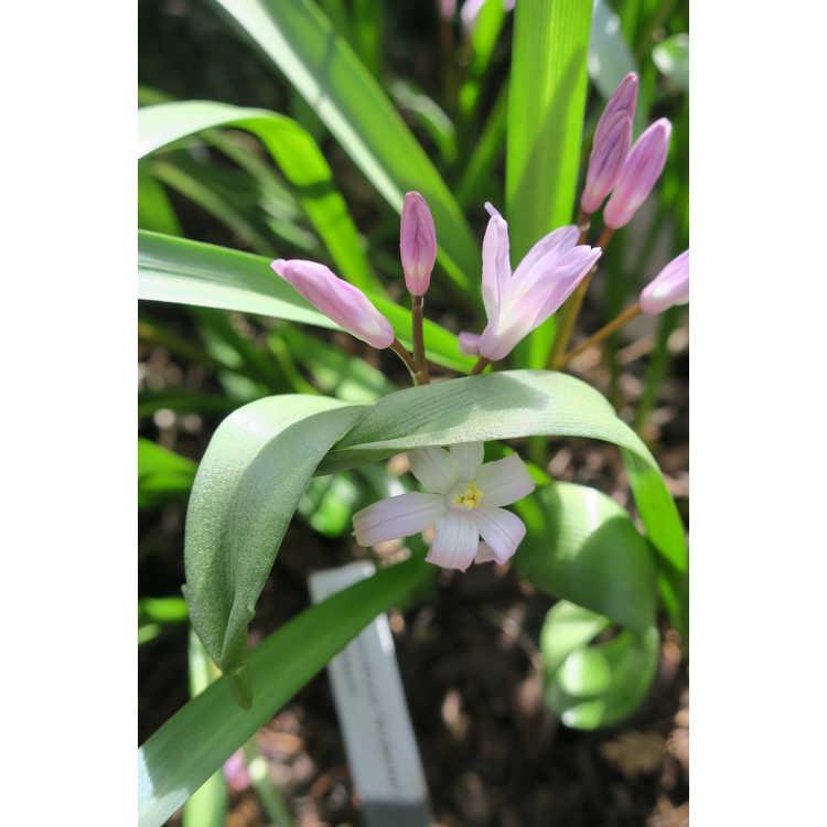 Chionodoxa forbesii 'Pink Giant'