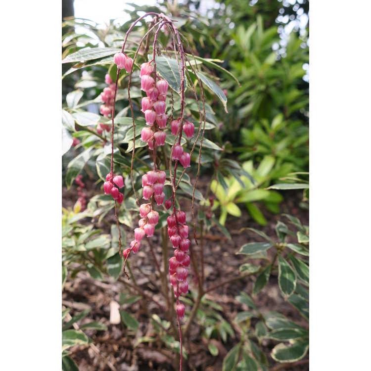 Pieris japonica 'Conrabideau' - Angel Falls variegated pink flowered pieris