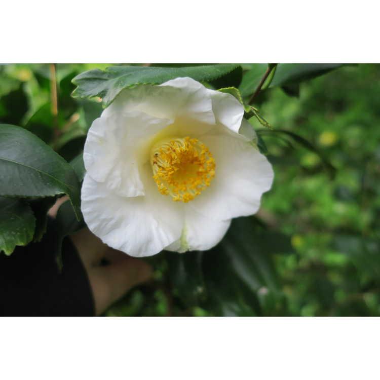 Camellia japonica White Mermaid