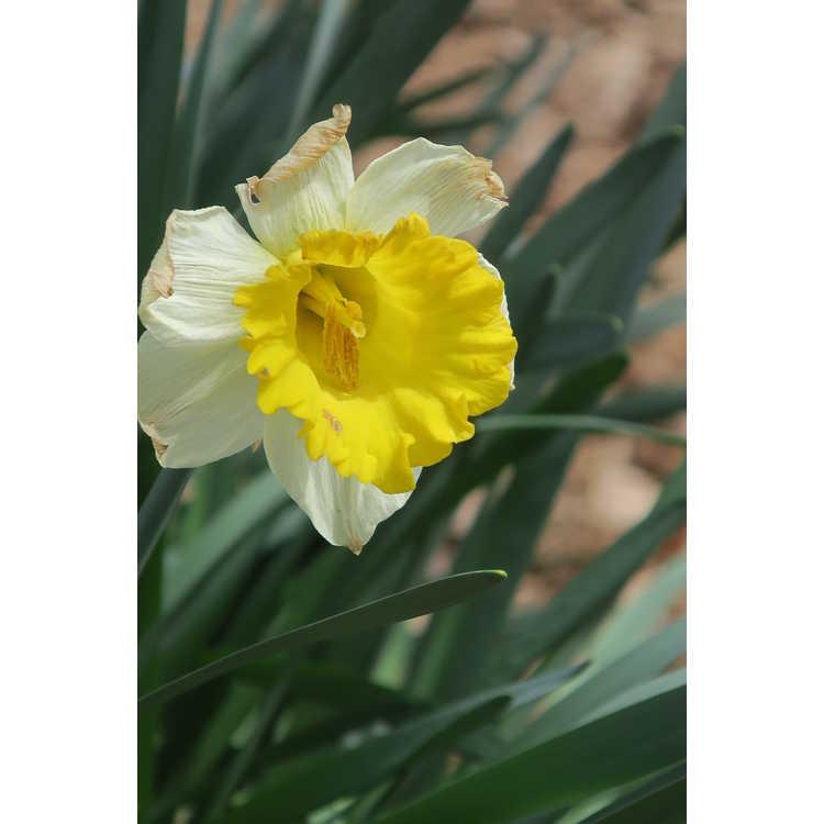 Narcissus 'General Patton' - trumpet daffodil