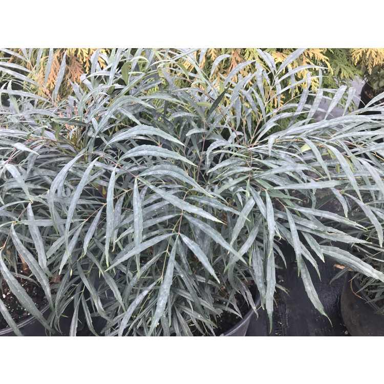 Mahonia eurybracteata 'Spg-3-018'