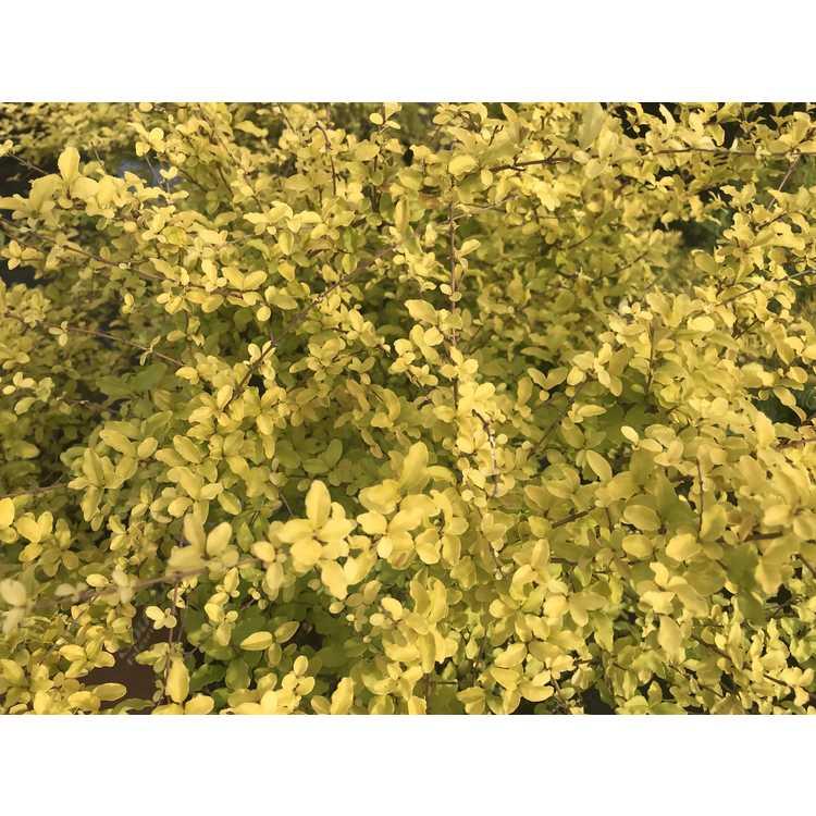 Ligustrum 'Sunshine' - golden privet