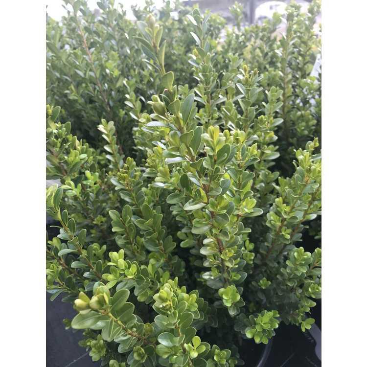 Buxus microphylla 'Gregem'