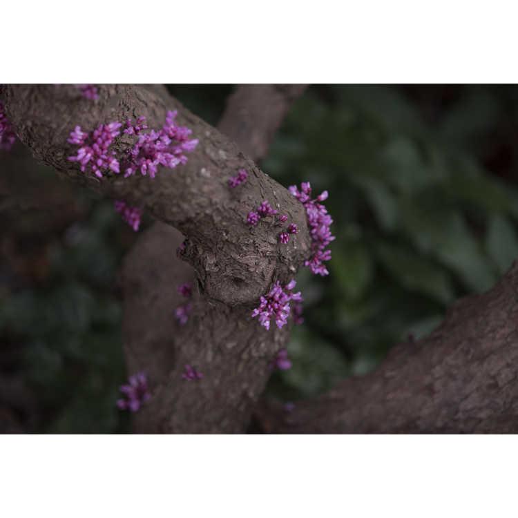 Cercis canadensis 'Amethyst Mist' - eastern redbud