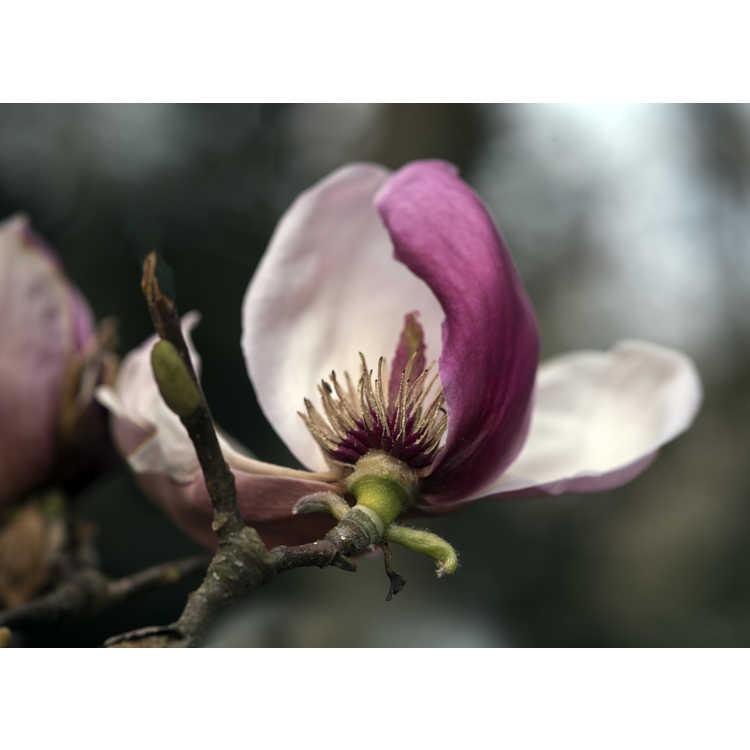 Magnolia Pink Goblet