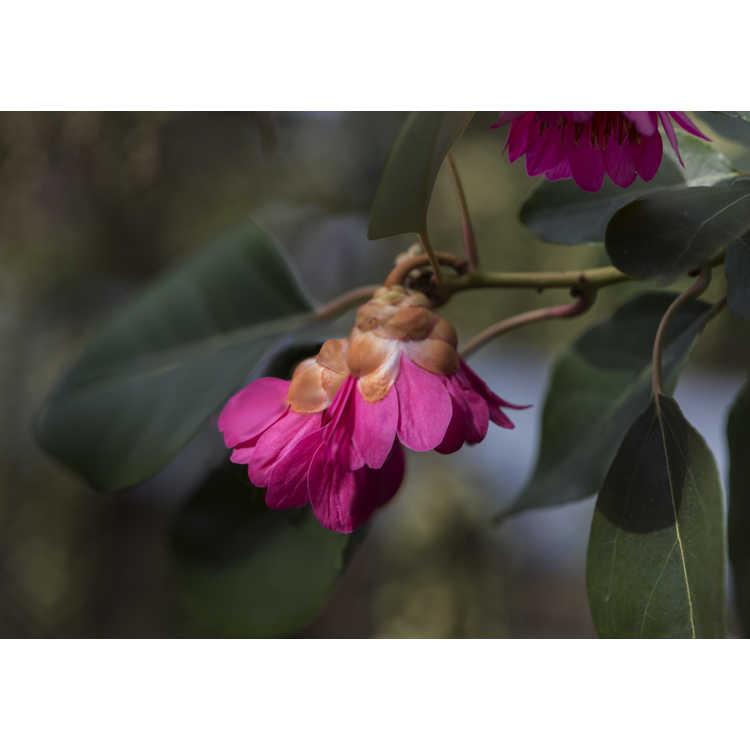 Rhodoleia henryi - evergreen rose hazel