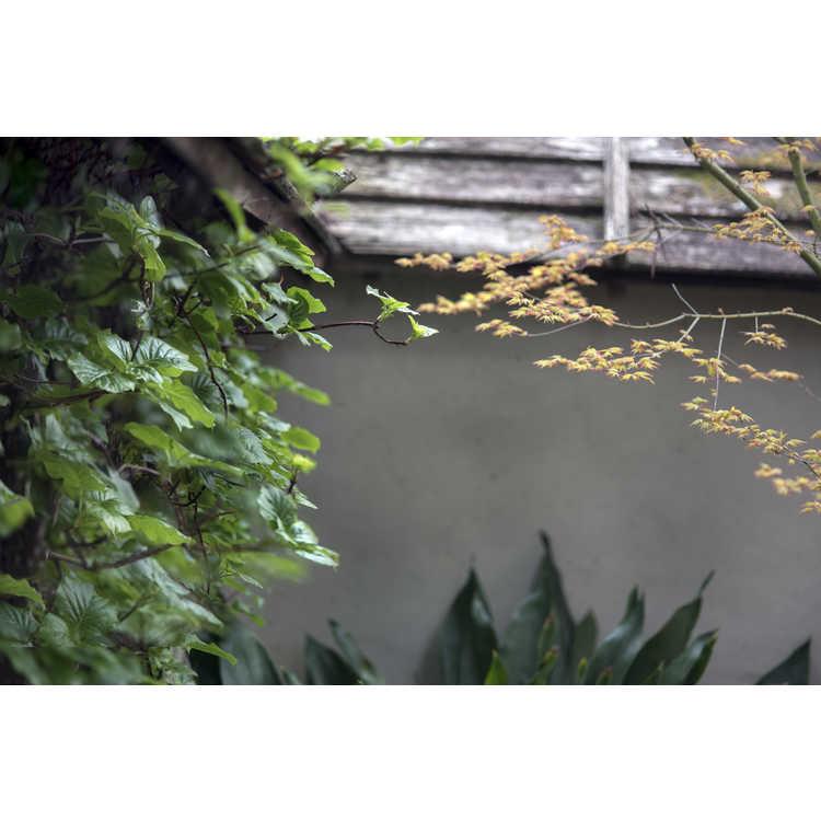 Hydrangea anomala subsp. petiolaris 'Early Light'