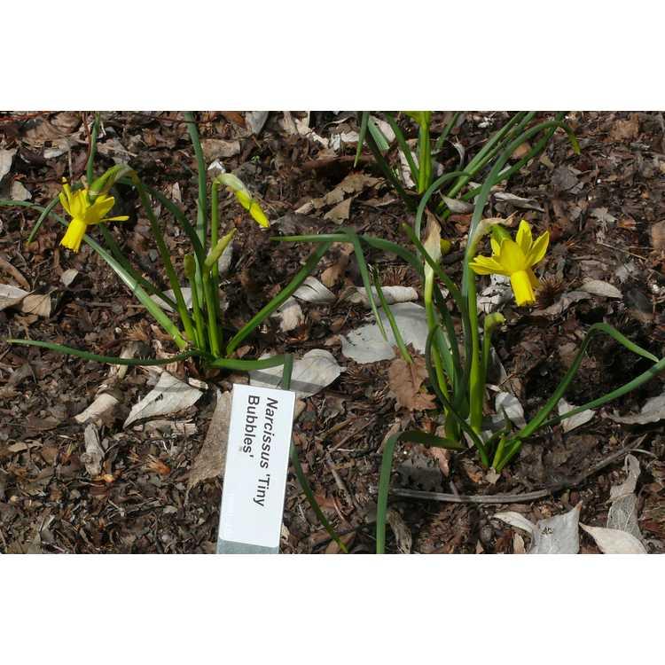 Narcissus 'Tiny Bubbles'