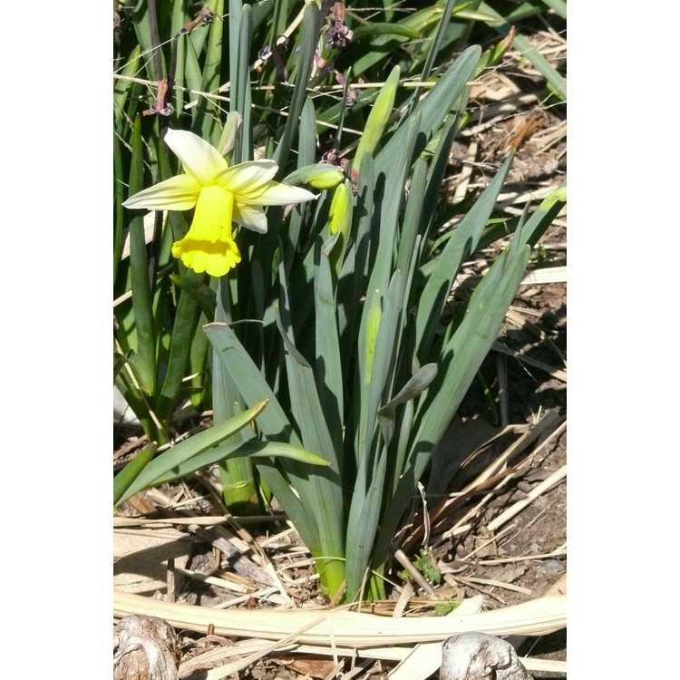 Narcissus 'Smiling Sun'
