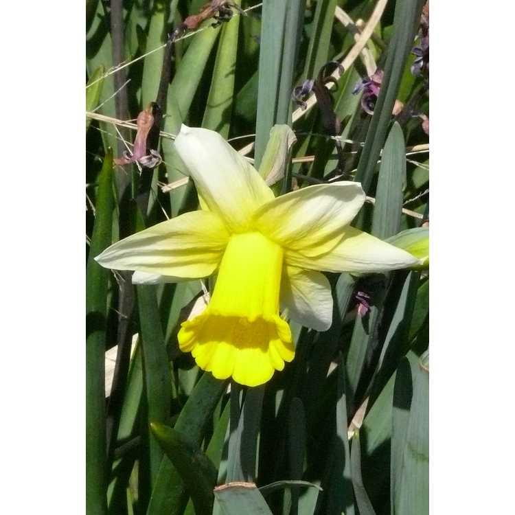 Narcissus Smiling Sun