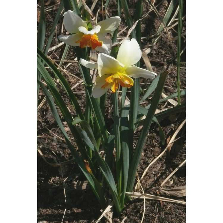 Narcissus 'Trepolo'