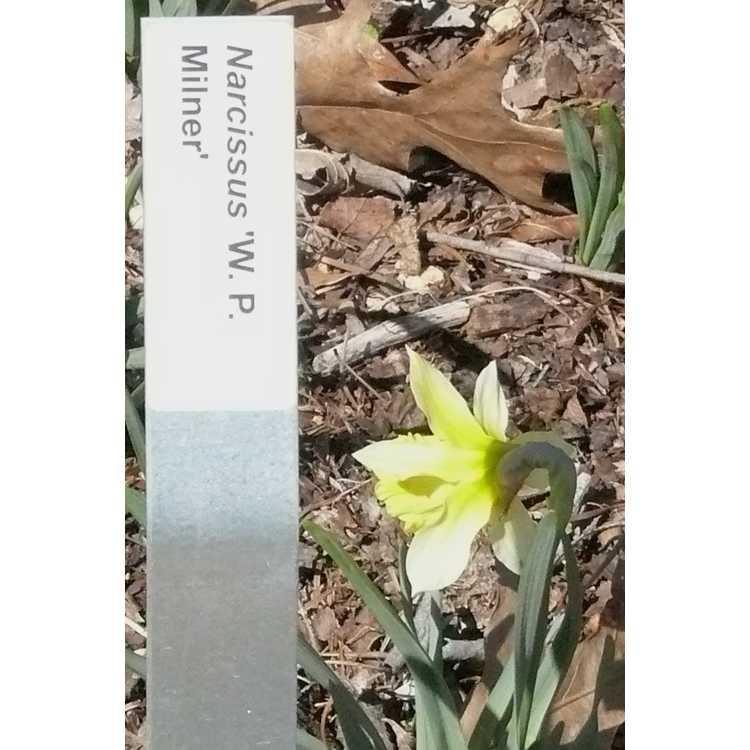Narcissus 'W. P. Milner' - trumpet daffodil