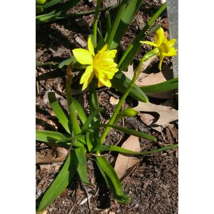 Narcissus 'Tête Bouclé'