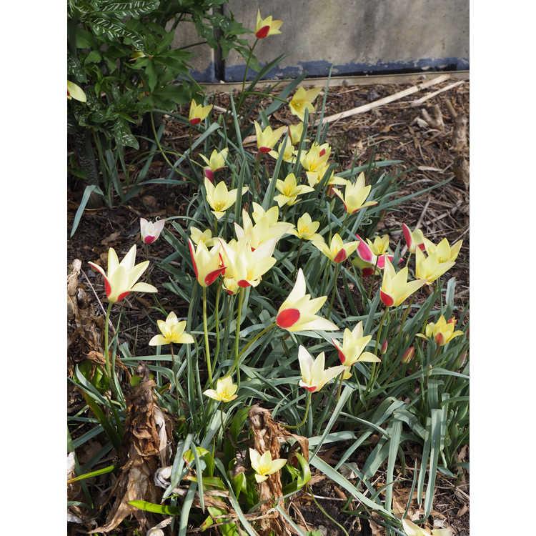 Tulipa 'Tinka' - tulip