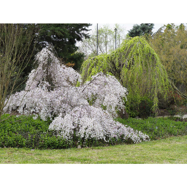 Prunus incisa 'Pendula' - weeping Fuji cherry