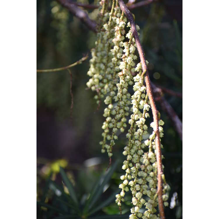 Stachyurus sigeyosii - spike-tail