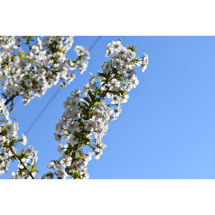 Prunus 'Umineko' - Japanese flowering cherry