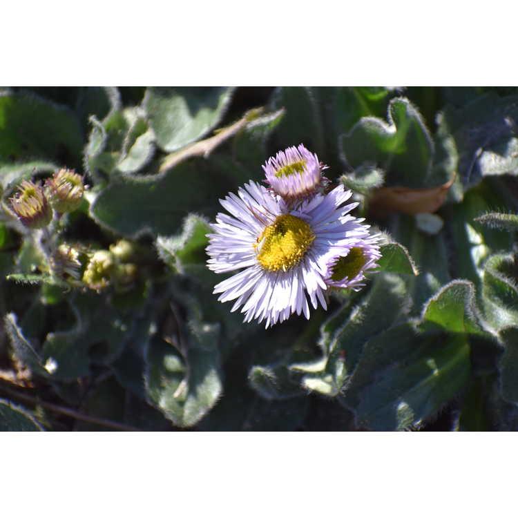Erigeron pulchellus pulchellus Lynnhaven Carpet