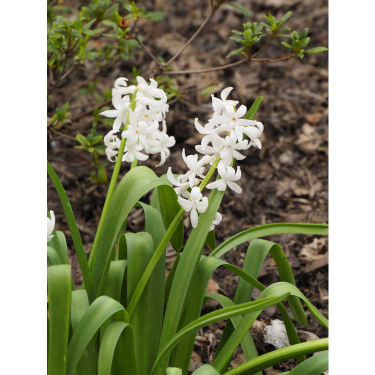 Hyacinthus orientalis 'White Festival'