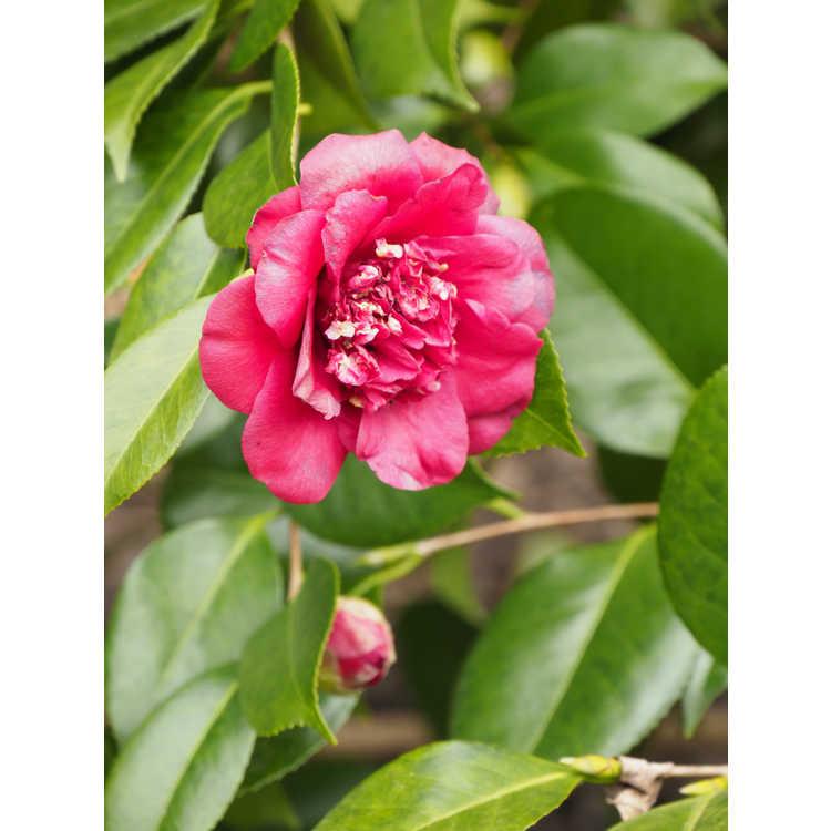 Camellia japonica April Tryst