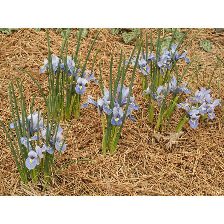 Iris [Reticulata Group] 'Alida' - netted iris