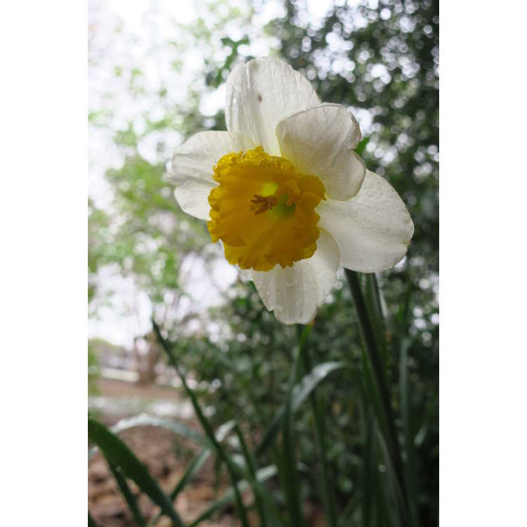 Narcissus 'Curly' - large-cupped daffodil