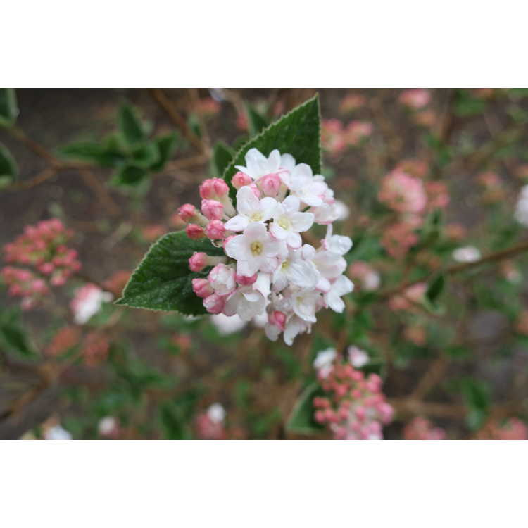 Viburnum carlesii 'Smvcb'