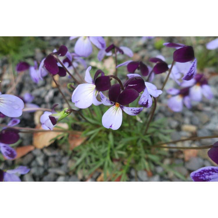 Viola pedata Eco Artist Palette