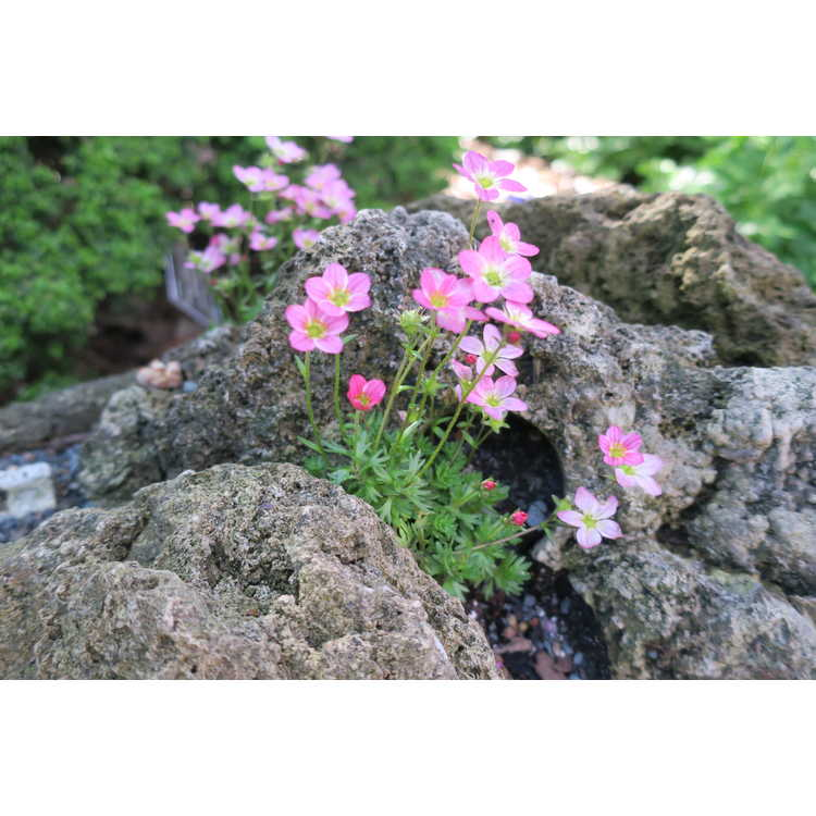 Saxifraga Alpino Early Magic Salmon