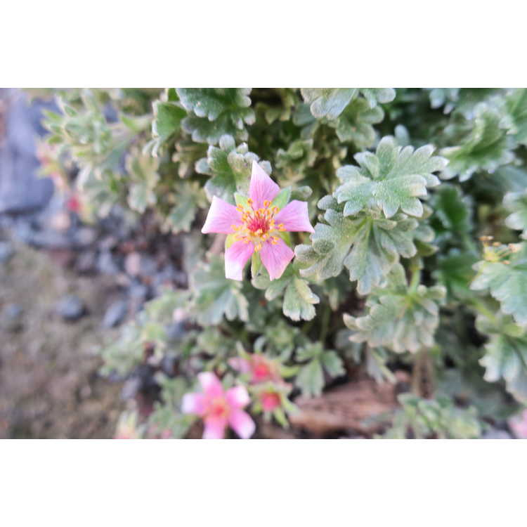 Potentilla porphyrantha