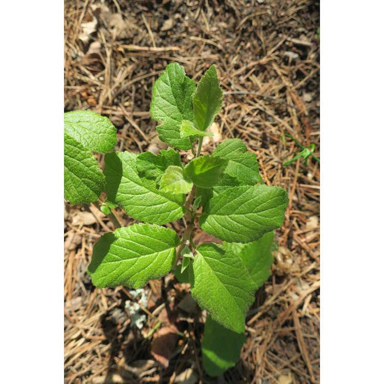Viburnum mongolicum