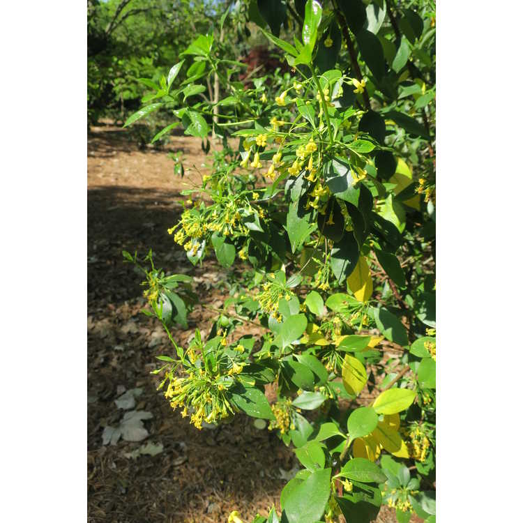 Pittosporum aff. truncatum
