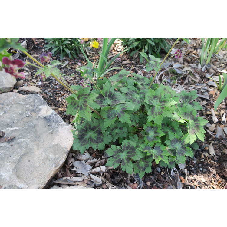 Geranium phaeum Samobor