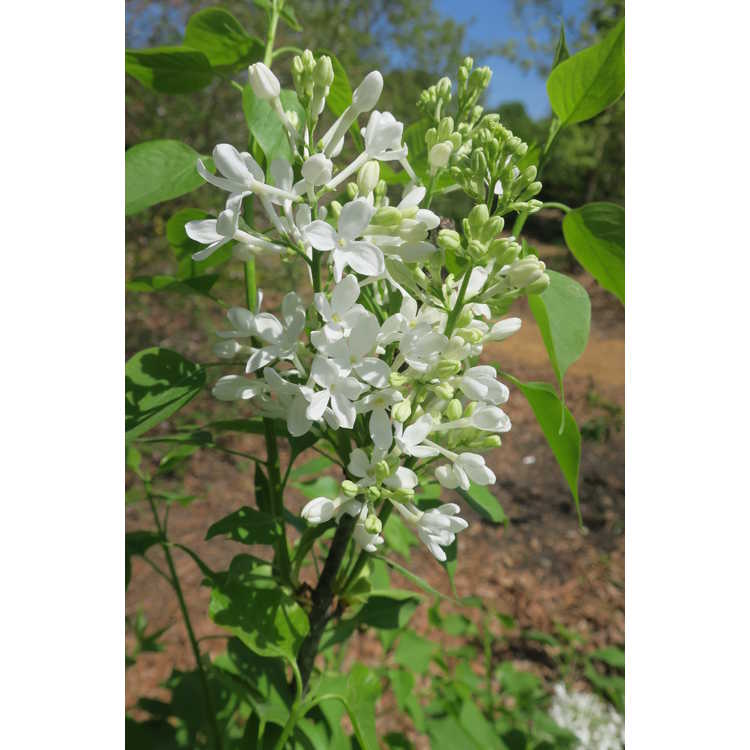 Syringa G13103 New Age White