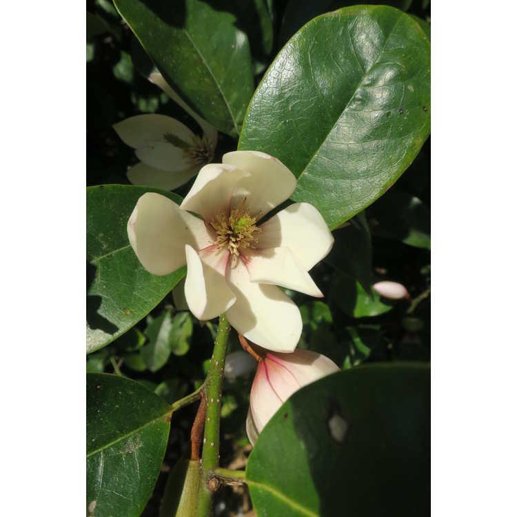 Magnolia Micjur01 Fairy Magnolia Blush